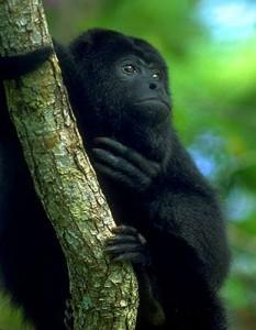 Howler Monkey (C/N)