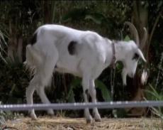 Goat (S/F) / (C/N)