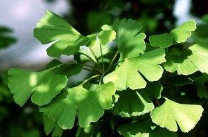 Ginkgoes (S F)