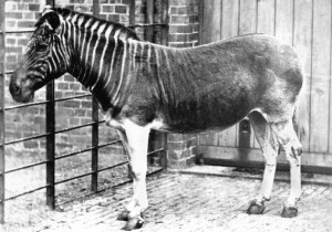 A quagga specimen, taken in 1870 at the London Zoo.