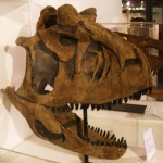 Skull cast of Carnotaurus