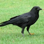 American Crow (S/F)